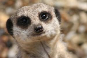 singlemeerkat-michaelponton