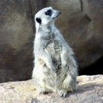 meerkat-looking-right-mike
