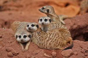 Meerkat Communications - Meerkat Family