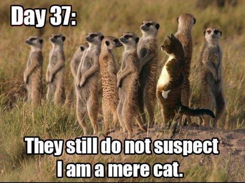 Meerkat Meme