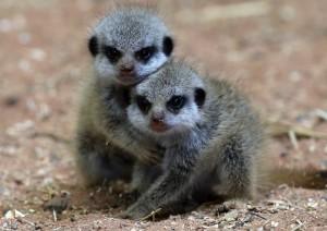 bristol-zoo-welcomes-triplet-meercats-20130723-113729-100